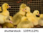 Poultry farm. geese