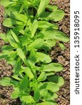 Small photo of Corn salad (Valeria locusta) in the garden bed