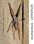 Small photo of pisauridae pisaura mirabilis agelenidae tegenaria gigantea thomisidae tibellus oblungus thomisidae heteropodidae heteropods sicariidae loxosceles rufescens misumena vatia
