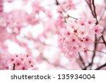 Beautiful Pink Cherry Blossom ...