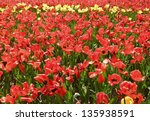 field of yellow and red tulips | Shutterstock . vector #135938591