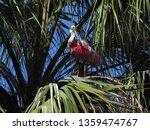 roseate spoonbill standing...   Shutterstock . vector #1359474767