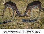 two young impalas in a fight... | Shutterstock . vector #1359568307