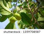 artocarpus lacucha fruit  | Shutterstock . vector #1359708587
