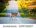 White Tail Deer  Odocoileus...