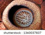 rafflesia  monster flower | Shutterstock . vector #1360037837