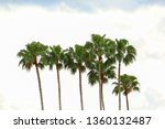 A Line Of Tall Mexican Fan Palm ...