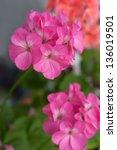 the flowers of the geranium... | Shutterstock . vector #136019501