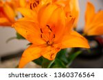 orange lily bloom flower close... | Shutterstock . vector #1360376564