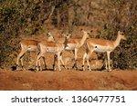 a group of impala antelopes ... | Shutterstock . vector #1360477751
