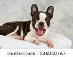Boston Terrier Puppy Lay Down...