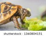Small photo of Hermann's tortoise - Testudo hermanni. Turtle is feeding.