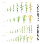 growth stages of grain cereal... | Shutterstock .eps vector #1360969934