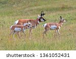 Pronghorn Buck And Fawns