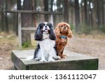 two cute cavalier spaniels... | Shutterstock . vector #1361112047