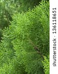 Small photo of American Arborvitae (cypress tree)