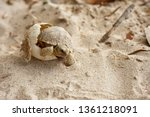 Stock photo cute portrait of baby africa spurred tortoise hatching birth of new life closeup of a small 1361218091