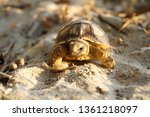 Stock photo cute portrait of baby africa spurred tortoise hatching birth of new life closeup of a small 1361218097