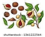 Nutmeg Spice Drawing. Ground...