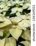 Group Of White Poinsettia Plants