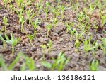 plantation of sprouts in soil | Shutterstock . vector #136186121