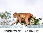 Two wild monkey - stock photo