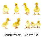 Yellow Ducks Collection On A...