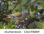 Small photo of African Green Pigeon; Treron calvus