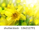 Daffodil Flowers Background In...