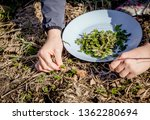 Small photo of Person picking fresh young goutweed leaves for food in nature in spring, Northern Europe. Aegopodium podagraria commonly called ground elder, herb gerard, bishop's weed, gout wort.
