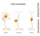 types of neurons  sensory and...   Shutterstock . vector #1362312704