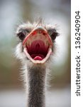 Portrait Of An Ostrich With A...