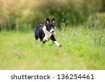 Stock photo happy puppy running through a meadow 136254461