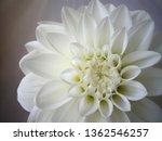 white dahlia flower... | Shutterstock . vector #1362546257