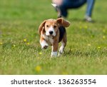 Stock photo running beagle puppy with flying ears at the walk 136263554