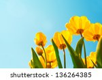 Yellow Tulips Over A Blue Sky...