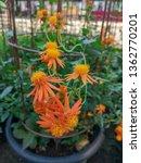 pseudogynoxys chenopodioides ... | Shutterstock . vector #1362770201