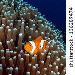 Western Pacific Clownfish...