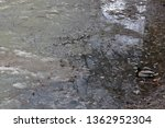 Duck In Dirty Water At The...