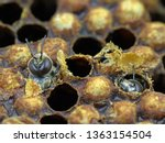 close up of a bee hatching from ... | Shutterstock . vector #1363154504