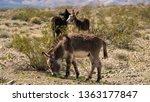 Wild Donkeys Or Burros Grazing...