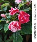 impatiens walleriana or lizzie... | Shutterstock . vector #1363217621