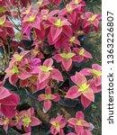 coleus or  solenostemon... | Shutterstock . vector #1363226807