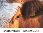 close up portrait of simmental  ...   Shutterstock . vector #1363257611