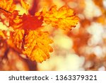 autumn oak leaves in sunrise... | Shutterstock . vector #1363379321