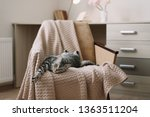 Stock photo home pet cute kitten cat lying in the chair with funny looking close up photo cute scottish 1363511204