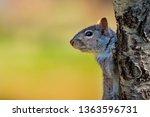 A Cute Gray Squirrel Is...