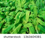 banana leaves with dewdrops in... | Shutterstock . vector #1363604381