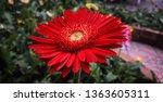 detail of an red gerbera... | Shutterstock . vector #1363605311