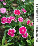 dianthus chinensis with green... | Shutterstock . vector #1363606151